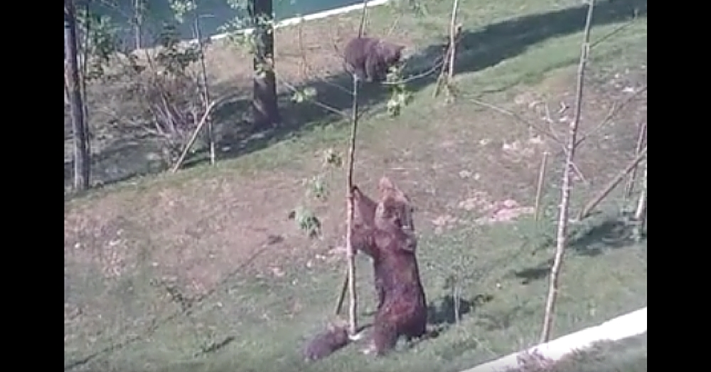 Baby Bear Gets Stuck In Tree. What Mama Bear Does Next…Amazing!