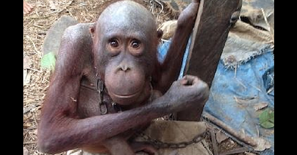 'World's Saddest Orangutan' Kept In Chains For Years Gets New Lease On Life