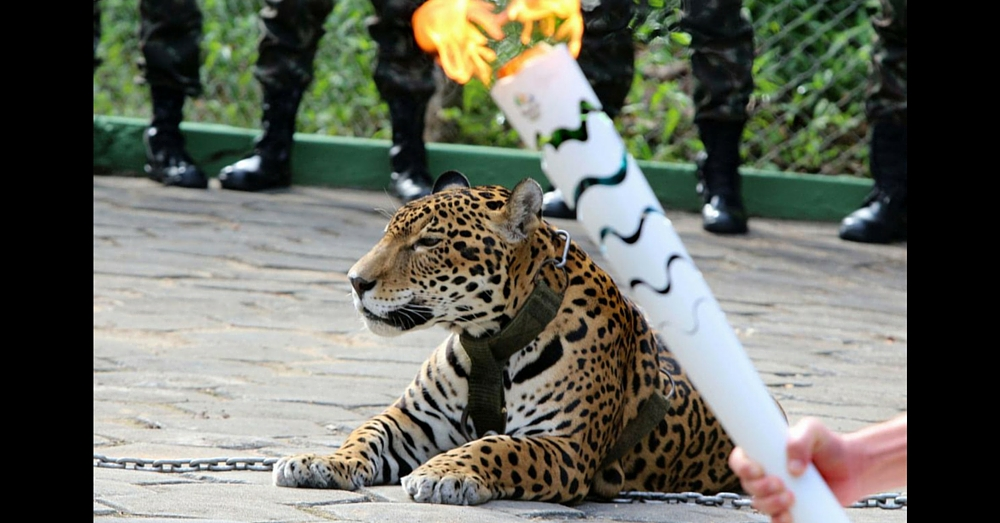 Jaguar Escapes At Olympic Torch Ceremony, Shot And Killed In Front Of Spectators