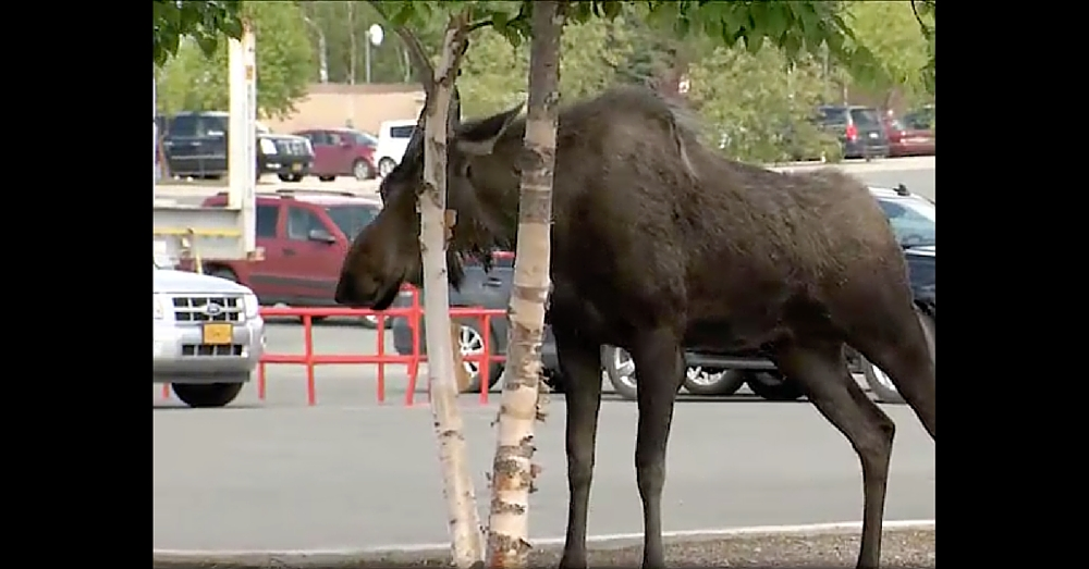 Shoppers Witness Moment Moose Gives Birth Right In The Middle Of A Parking Lot