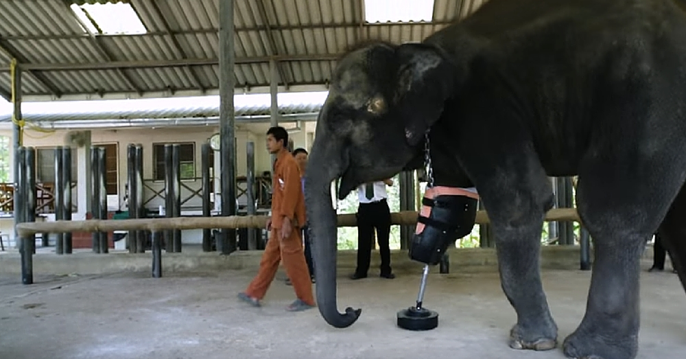 This Elephant Lost Leg To Landmine. Now Watch Her Use Prosthetic Leg For 1st Time