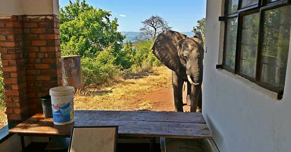 Elephant Seeks Out Human Help After Being Shot By Poachers