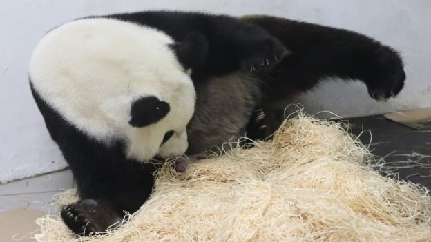 Weighing only 171g (6 oz), the cub can barely be spotted underneath Hao Hao