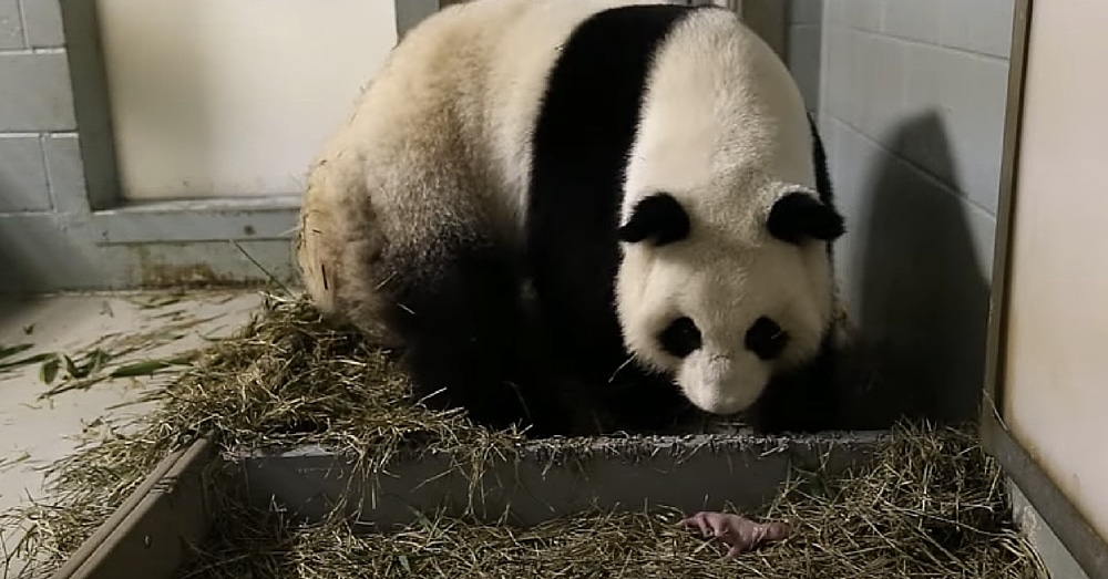 Giant Panda Gives Birth, But When She Gets Up Keepers See Something That Makes Them 'Scream'