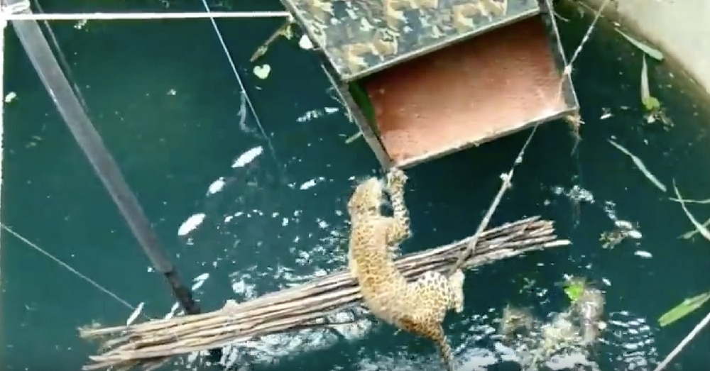 Watch: Villagers Save Drowning Jaguar In Dramatic Rescue