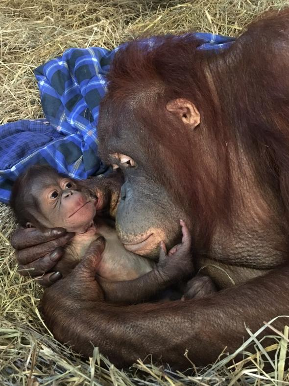 A newborn Bornean orangutan lies in its mother's arms at the National Zoo in Washington, D.C.  PHOTOGRAPH BY ALEX REDDY, SMITHSONIAN'S NATIONAL ZOO