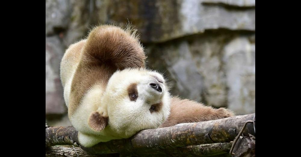 Meet Qizai – The World's Only Brown Panda!