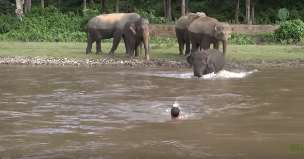 Young Elephant Rescues Drowning Man From Rushing River