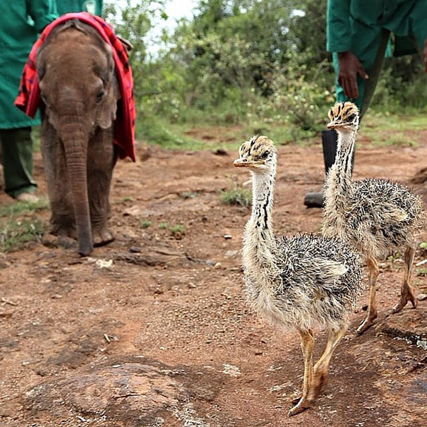 There he met an orphaned ostrich named Pea