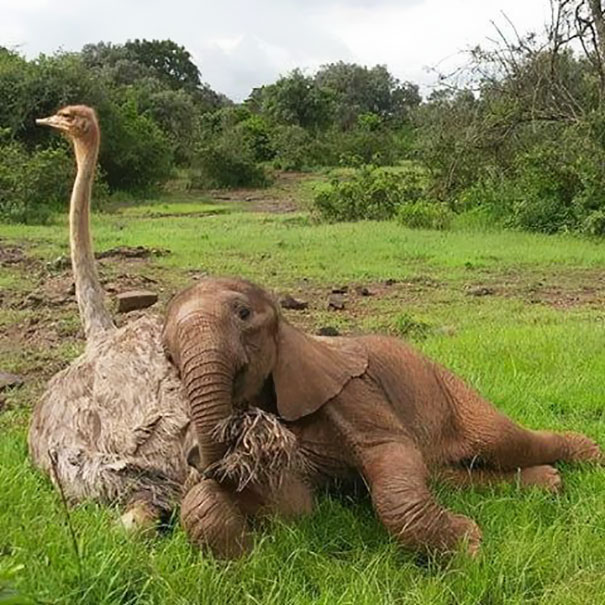 Jotto and Pea became BFF! Pea snuggles with the baby elephant and helps him heal…