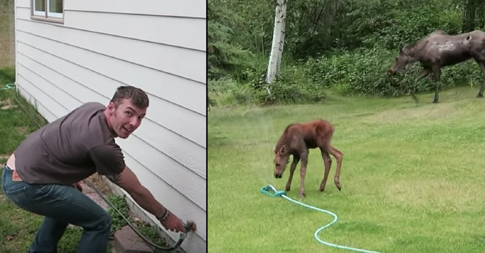 Dad Spots Baby Moose In Yard And Turns On Sprinkler. What Happens Next Is Going Viral