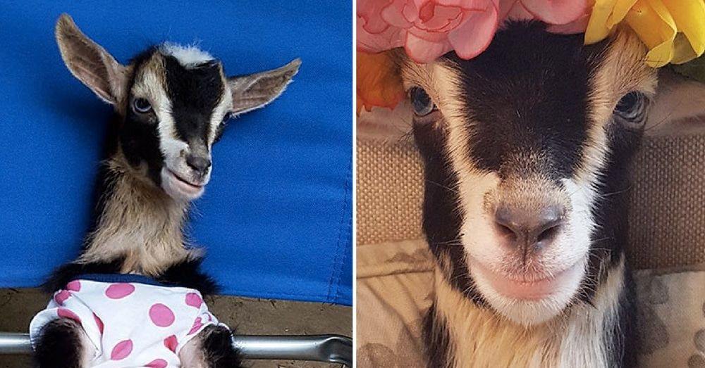Rescue Goat Anxious And Afraid Until Her New Owner Puts Her In This
