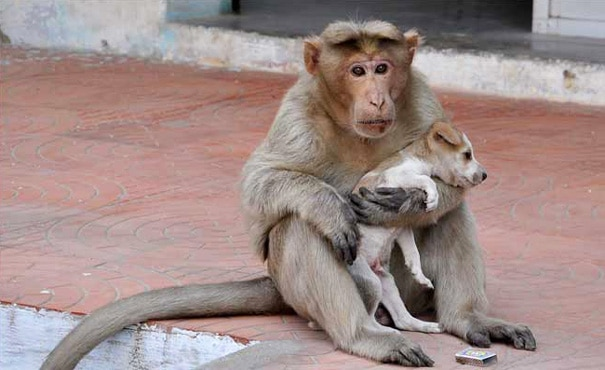 This rhesus monkey adopted this puppy.