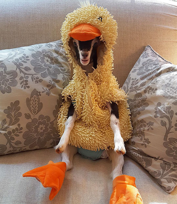 Rescue goat Polly was suffering from anxiety until one day her owner got her a duck costume