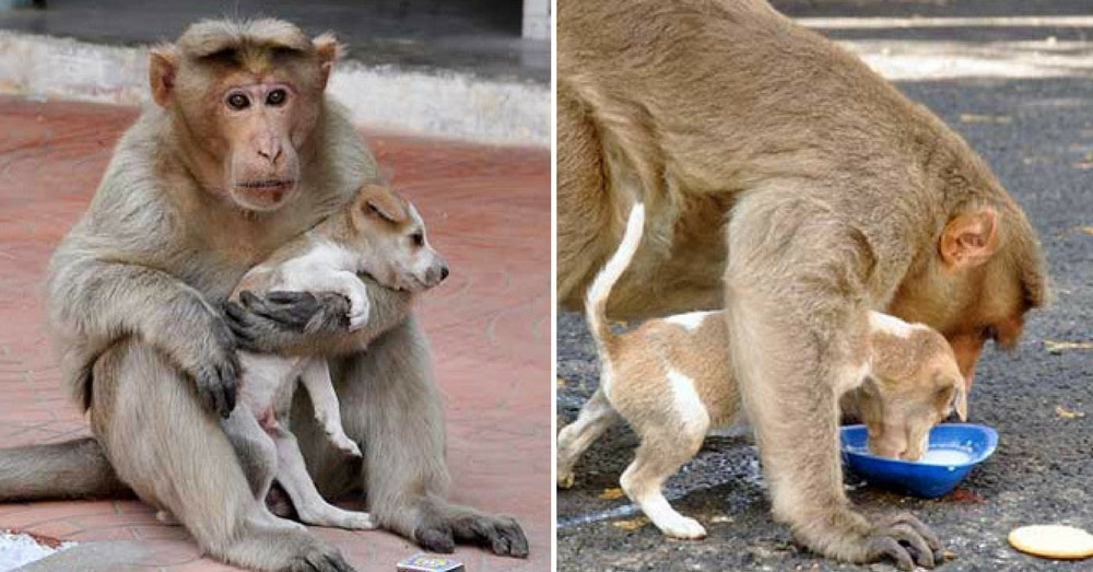 Monkey Adopts Stray Puppy As Her Own. What She Does When Other Dog Attacks? I'm Speechless