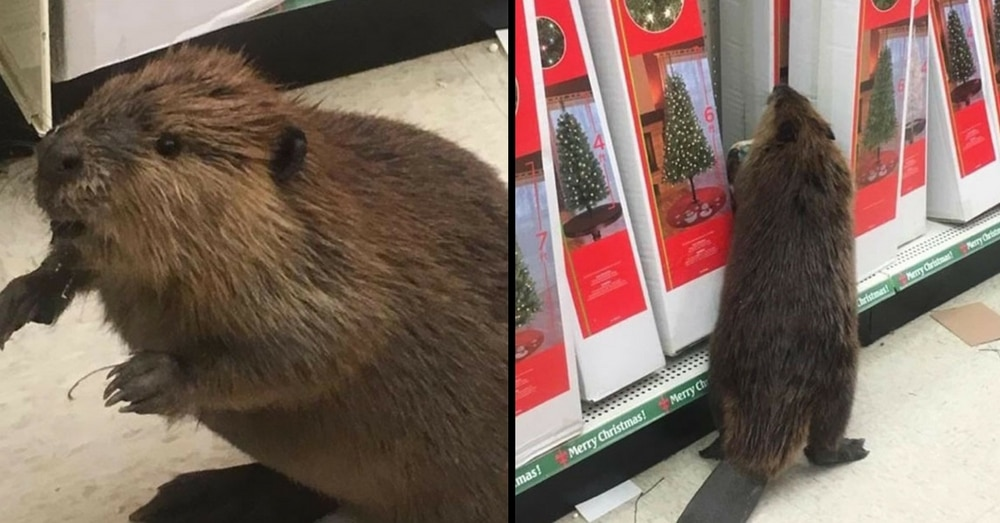 This Beaver Just Got Caught Trying To Do A Little Christmas Shopping!