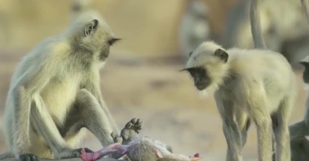 Monkeys Think Their Baby Is Dead. When I Saw What They Did Next…Absolutely Incredible