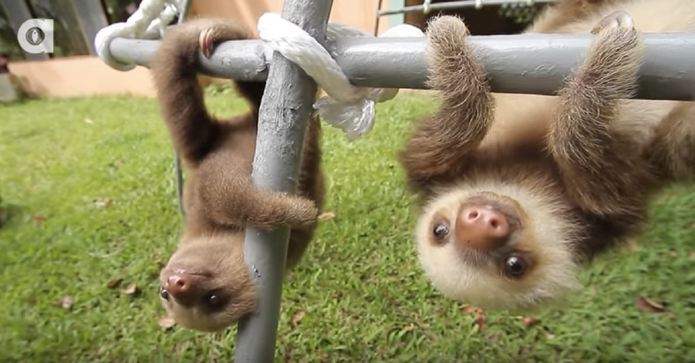 2 Sloths Meet Up After Grabbing Same Branch. What They Do Next Is Going Viral