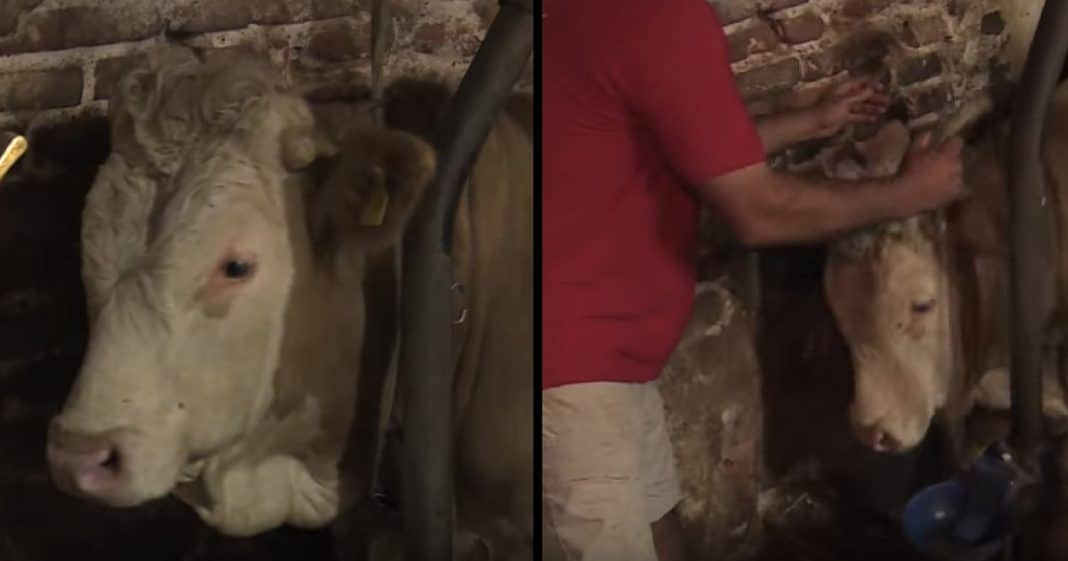 Bull Has Been Chained His Entire Life. Now Watch What Happens When He's Finally Set Free