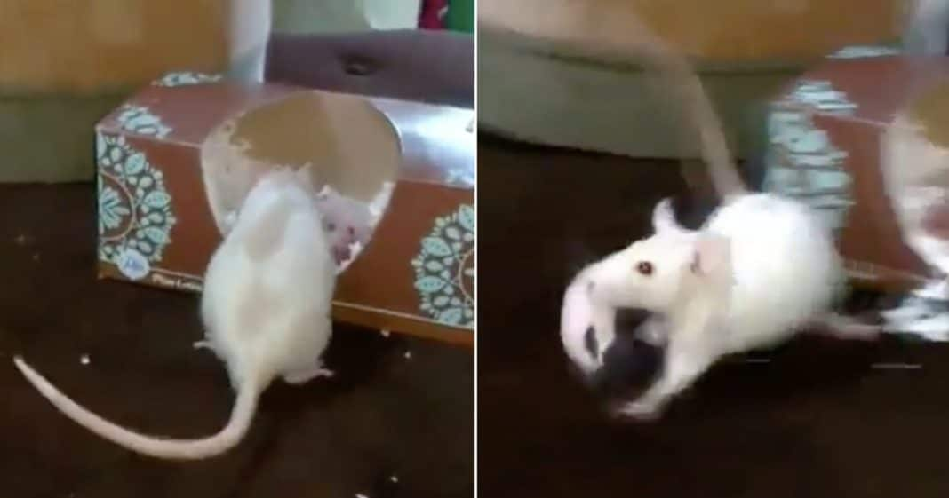 Rescue Rat And 13 Babies Set Up In New Home, But Watch What She Does When She Finds A 'Better' One