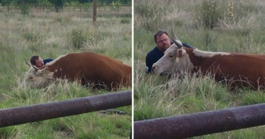 He Watches Heartbroken Mama Cow Collapse In Field After Baby Calf Dies, Refuses To Leave Her Side