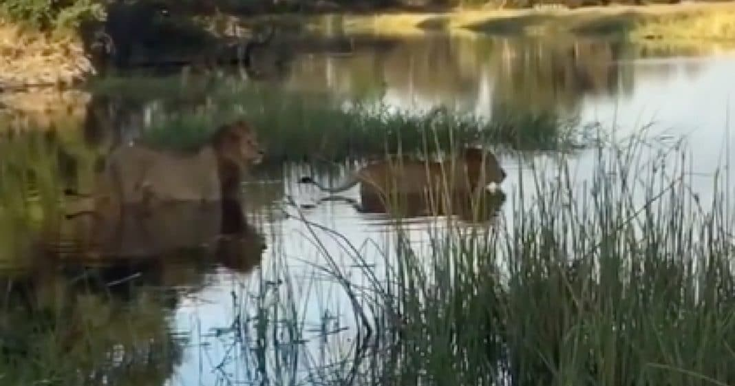 Watch This Lion Save His Younger Brother From Terrifying Crocodile Attack
