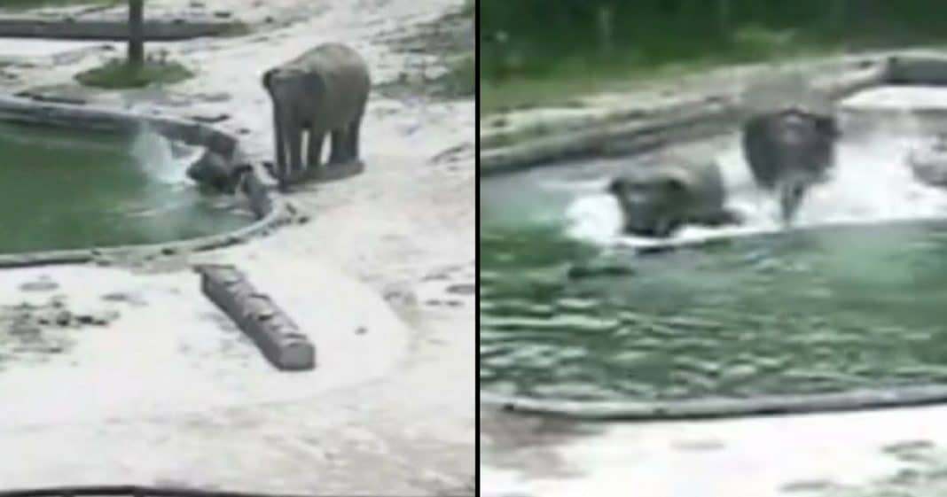 Baby Elephant Starts Drowning In Pool. Now Watch What These Other Elephants Do Next