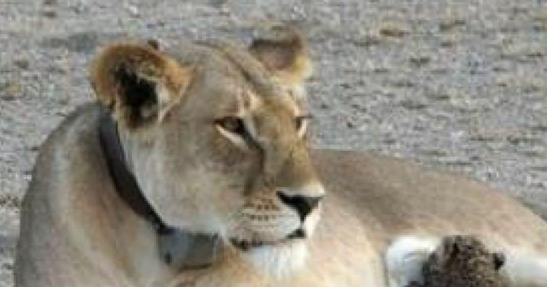 Photographer Spots Lion Nursing Young Cub, But When He Takes A Closer Look…That's When He Realizes it