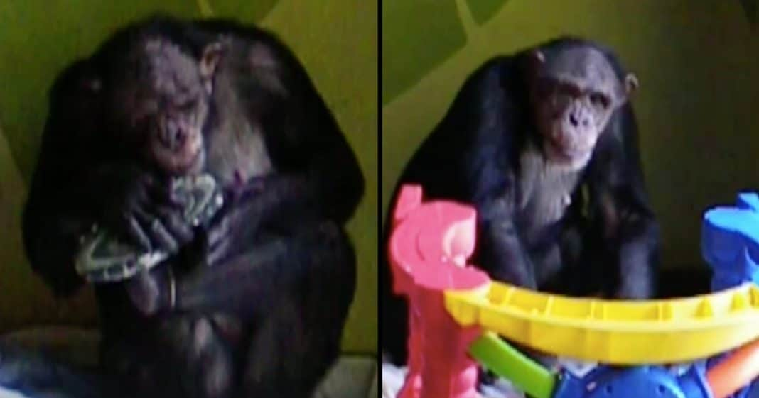 Abused Chimp Has Never Seen Sun. Watch What Happens When They Show Her Love For 1st Time