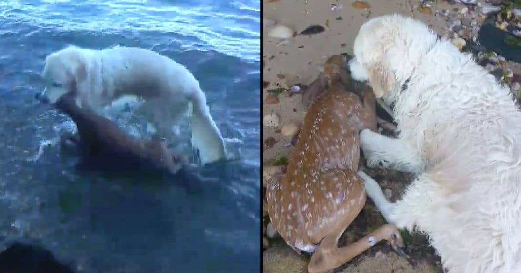 Dog Saves Fawn From Drowning, But It's What He Does After That Really Has People Talking