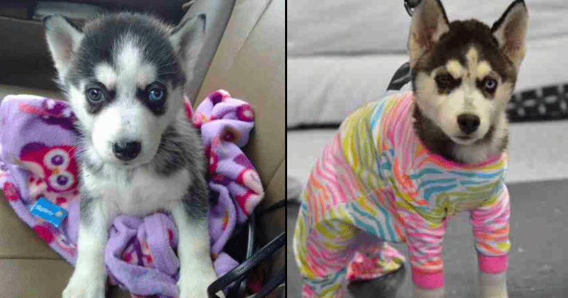 No One Wants This Adorable Little Husky, And The Reason Why Will Break Your Heart