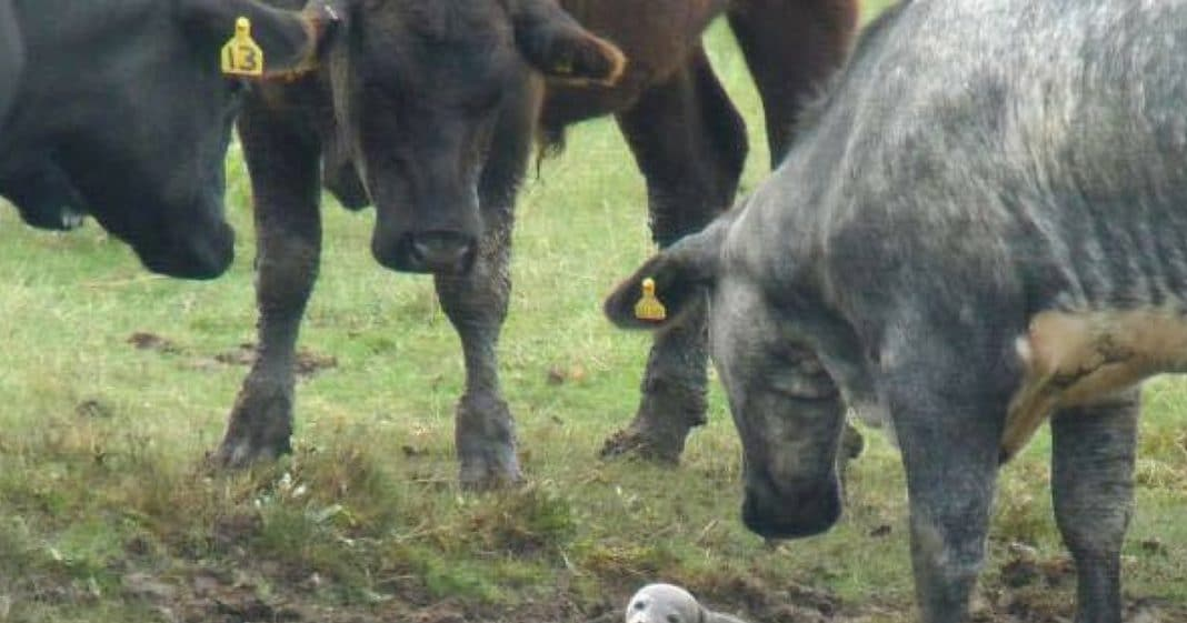 He Notices Cows Circled Up And Acting Strange. When He Gets Closer He Spots It