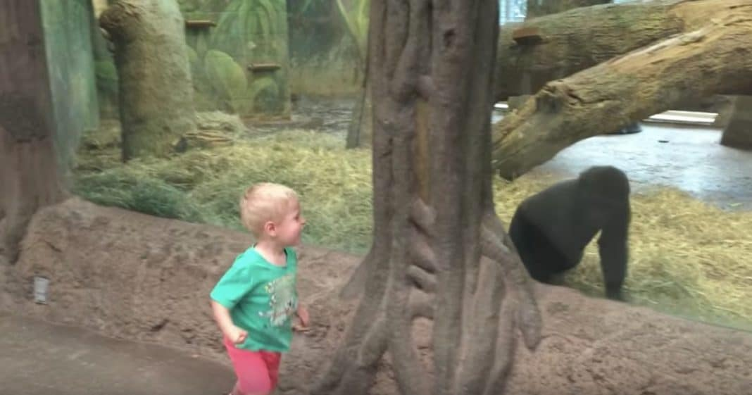 Toddler Waves To Baby Gorilla, But Watch What Happens When He Starts Playing Peek-A-Boo