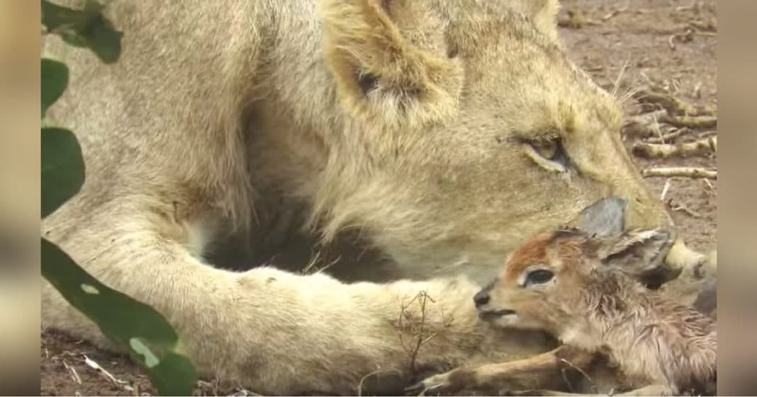 Lioness Walks By With Baby Antelope In Mouth, But Onlookers Weren't Prepared For What Happens Next