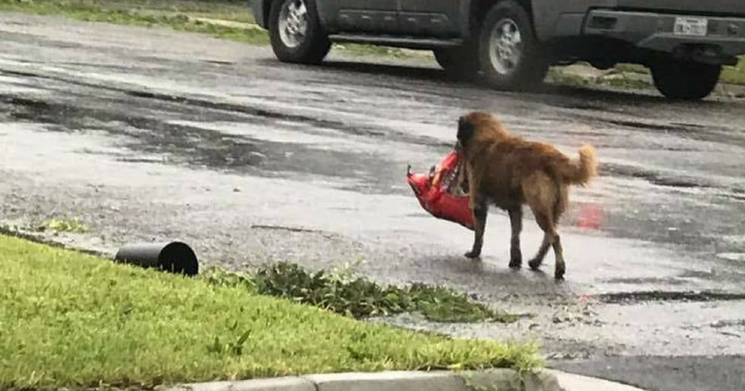 She Spots Missing Dog On Street, Jaw Drops When She Sees What He's Carrying In His Mouth
