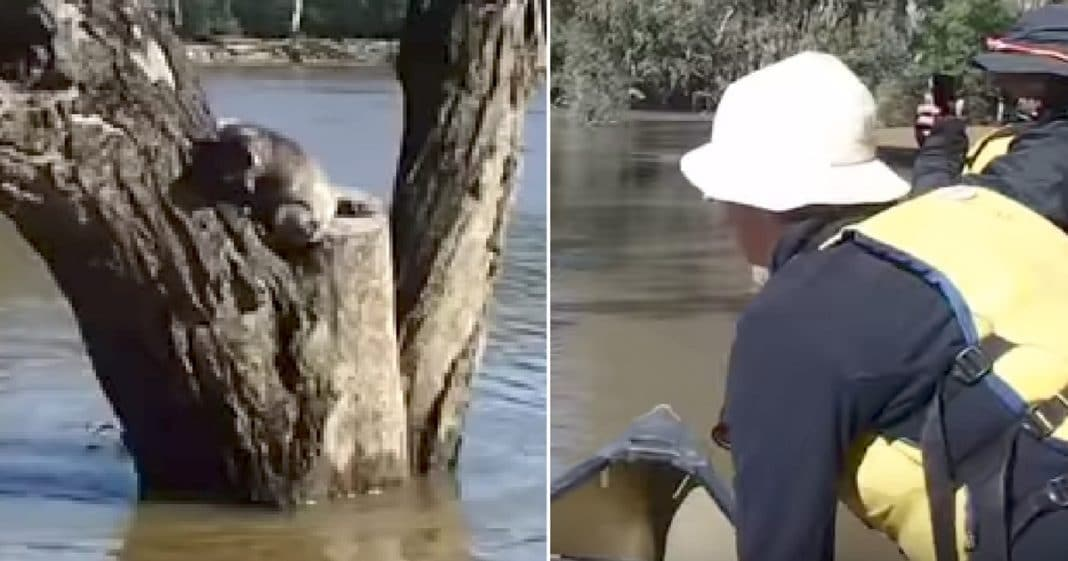 Koala Trapped In Tree As Floodwaters Rise, Then Man In Canoe Paddles By