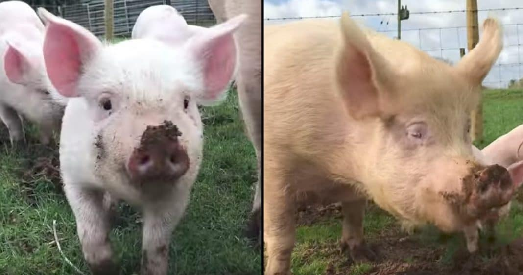 Mama And Baby Pigs Rescued From Slaughter, Finally See Sun For 1st Time In Lives