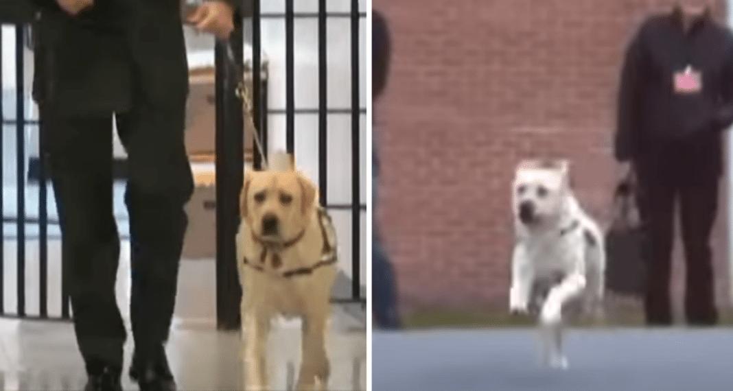 Veteran Walks Into Prison With Dog, When Inmate Turns Corner Pup Immediately Starts Running