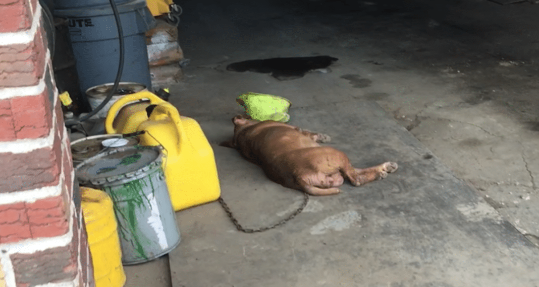 Pit Bull Chained For 8 Years, Forced To Sleep On Concrete Slab – Then Team Of Rescuers Approach Her