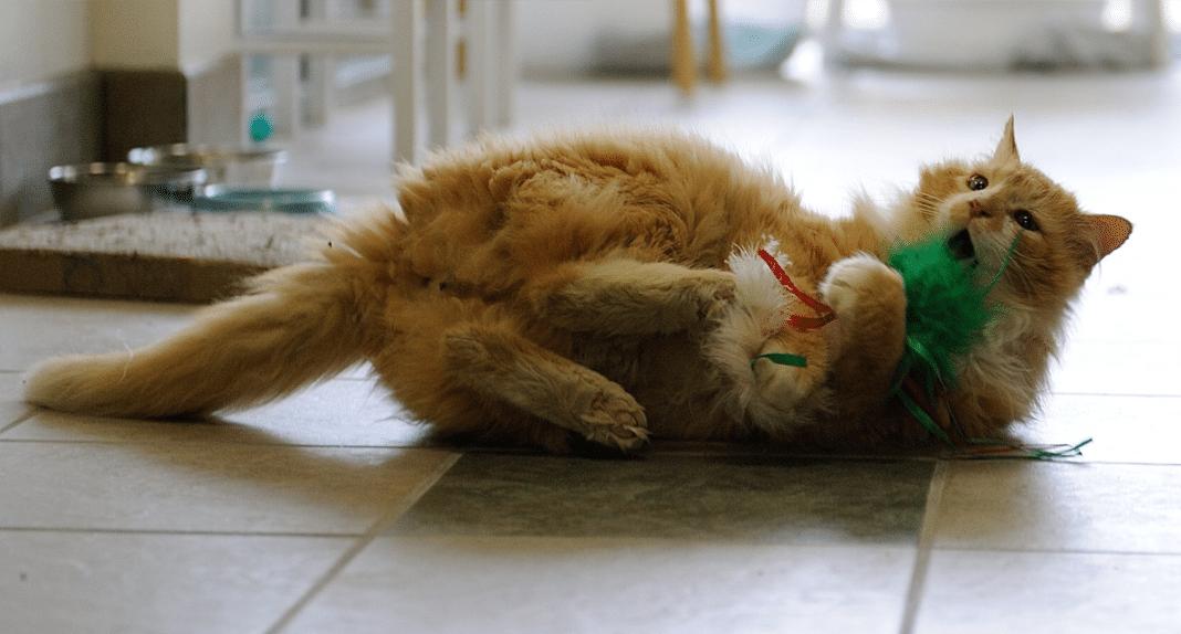 Toby the cat, SPCA