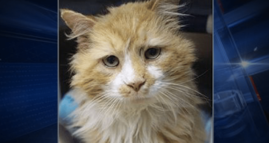 Cat Walks 12 Miles Home To Family Who Rejected Him, Rescuers Step In When Owners Want Him Euthanized