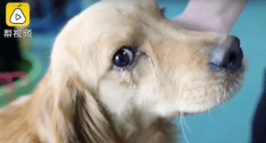 Crying golden retriever