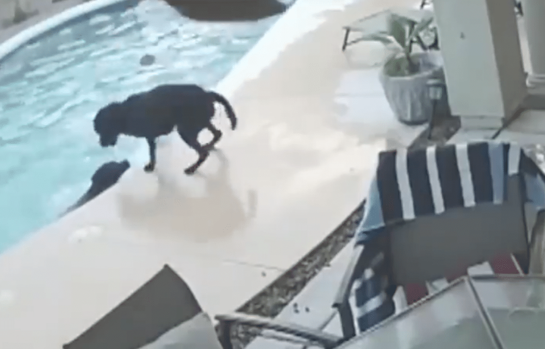 Dog Falls Into Family Pool While Owners Are Gone, Moments Later Hero Friend Realizes He's Drowning