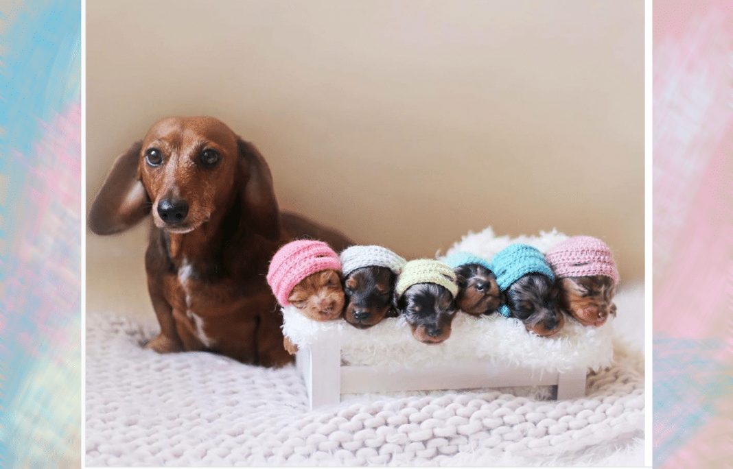 This Mommy Dachshund's Adorable Photo Shoot With 6 Tiny Puppies Is Winning The Internet