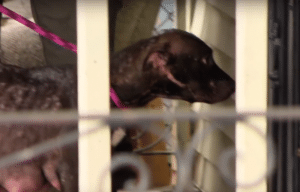 Pit bull mother leads rescuers to door