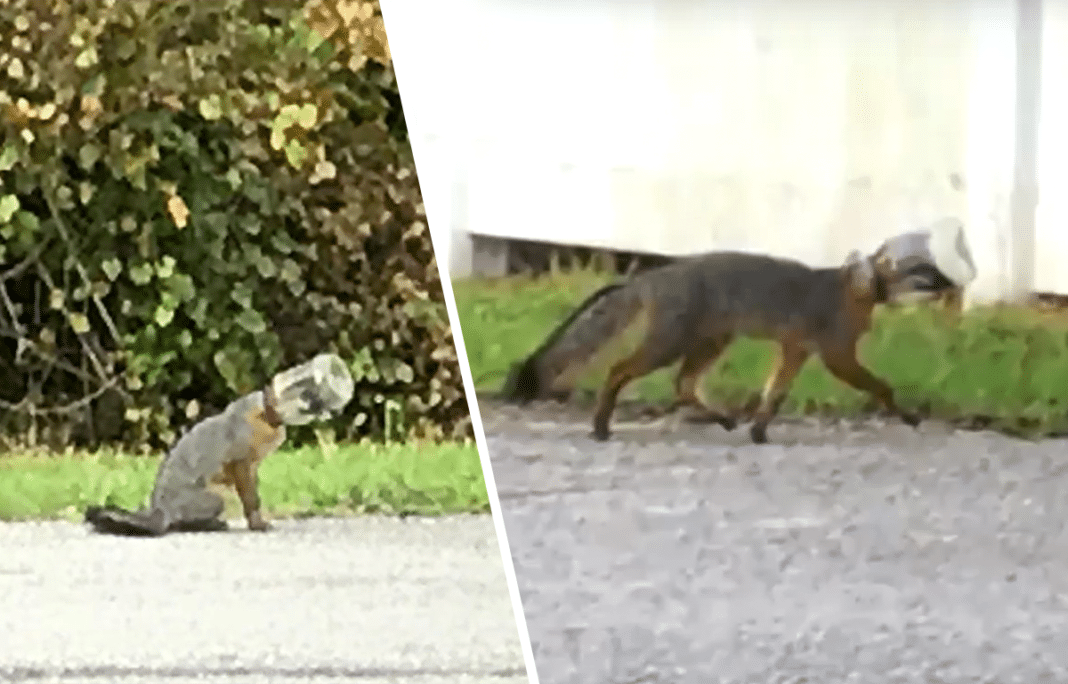 Firefighters Spot Baby Fox With Jar Stuck On Its Head, Then Realize Wild Animal Is Asking For Help