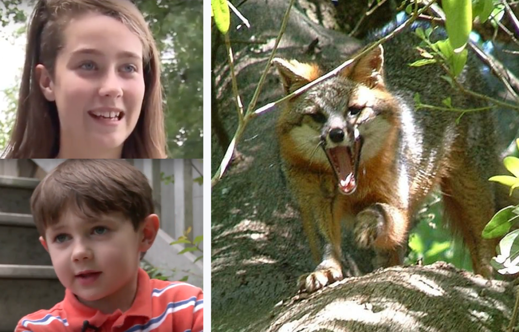 Rabid Fox Meets Its Match When Hero Babysitter Defends Age 7 Boy From Vicious Attack