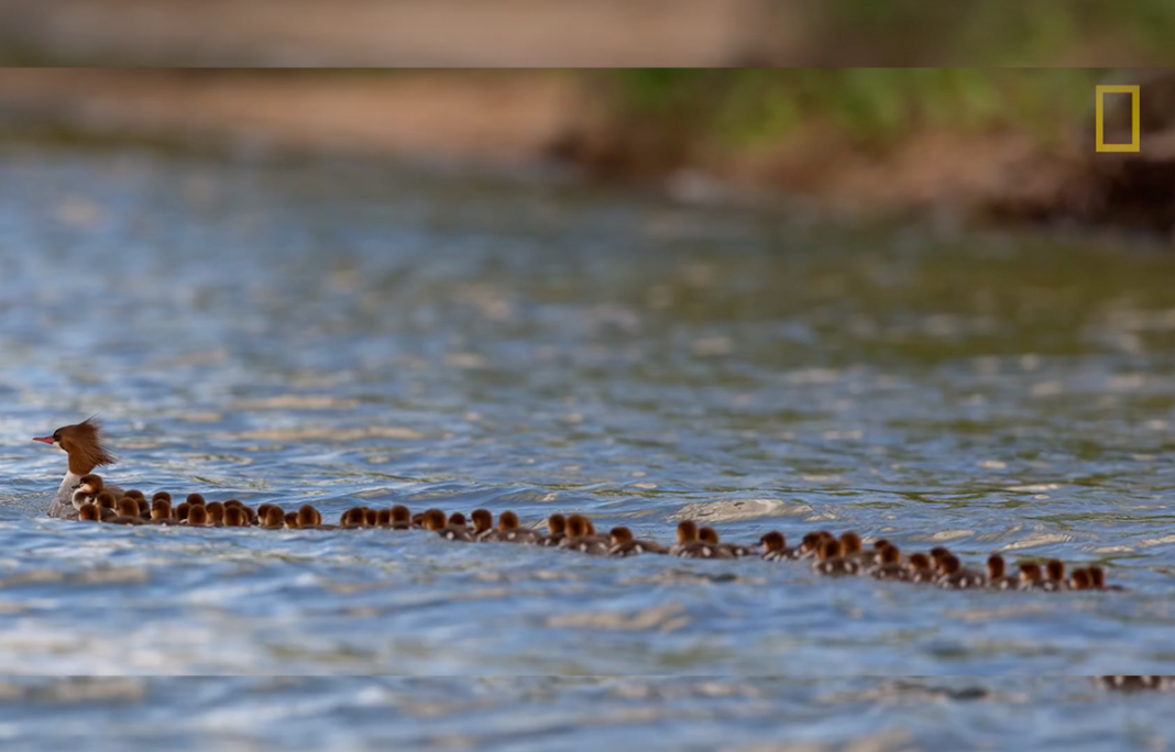 Internet can't stop watching this video of 'Super Mom' duck towing all 76 of her ducklings