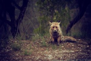 A fox appears on the edge of the woods (stock photo)