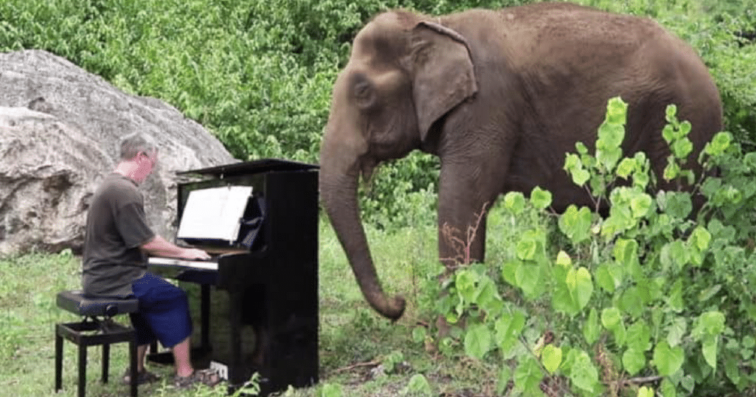 Beautiful Moment 80-Year-Old Blind Elephant Brought To Tears As Man Plays 'Clair de Lune' On Piano